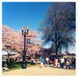 The lovely cherry blossom trees on the waterfront