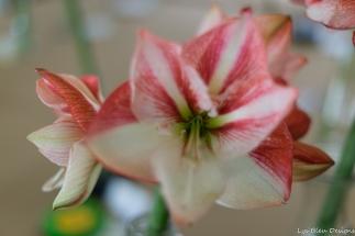 coronado flower show w (11 of 240)