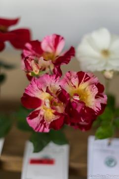 coronado flower show w (175 of 240)