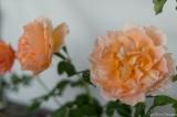 coronado flower show w (177 of 240)